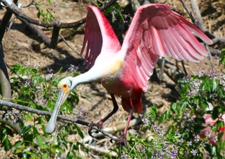 Roseate Spoonbill, Smith Oaks Rookery