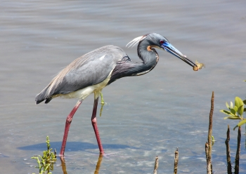 Tri-colored Heron, South Padre Island