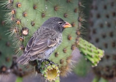 Cactus Ground Finch, Galapagos Islands