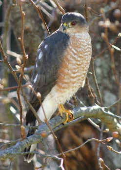 Sharp-shinned Hawk, home