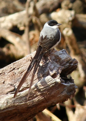 Fork-tailed Flycatcher, CT