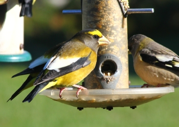 Evening Grosbeaks, home
