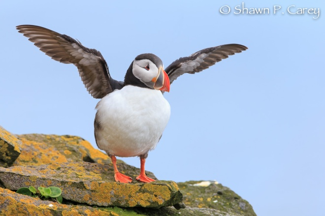 Atlantic Puffin © Shawn P. Carey, Migration Productions