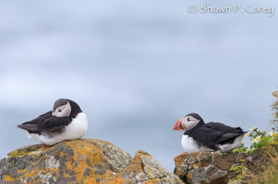 Atlantic Puffins © Shawn P. Carey, Migration Productions