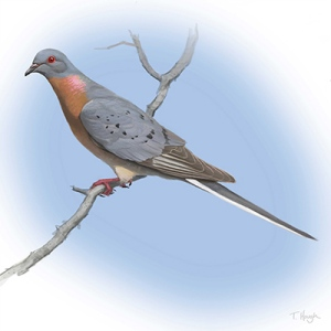 Male Passenger Pigeon by Tim Hough