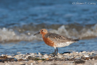 Red Knot © Shawn Carey, Migration Productions
