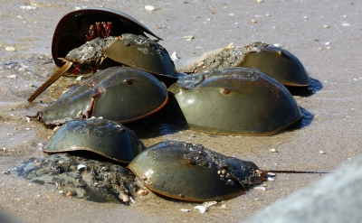 Horseshoe crabs, Reed's Beach, Cape May