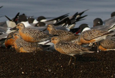 Red Knots, Reed's Beach, Cape May © Eric C. Reuters