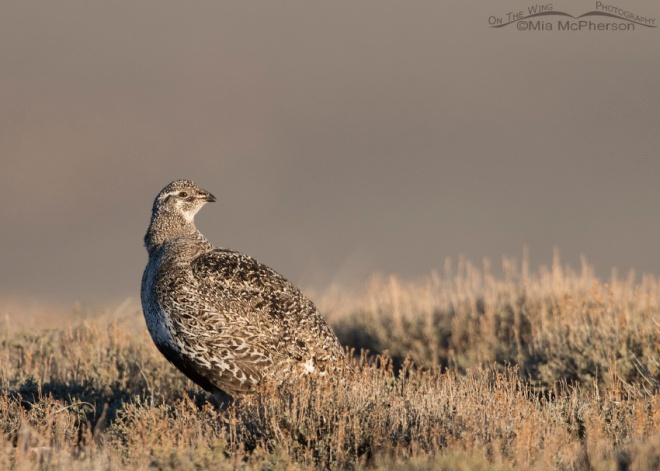 Female Greater Sage-Grouse at sunrise. © Mia McPherson