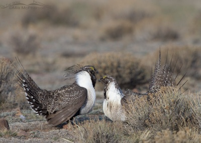 Sparring male Greater Sage-Grouse. © Mia McPherson, On The Wing Photography