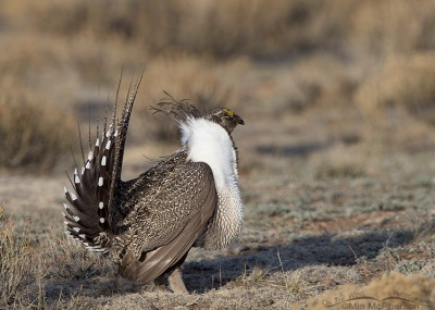 Male Greater Sage-Grouse on a lek in Utah. © Mia McPherson