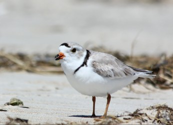 Piping Plover, MA