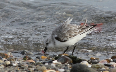 Sanderling, Westport, CT