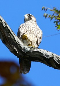 Peregrine Falcon (juv.), Milford Point, CT