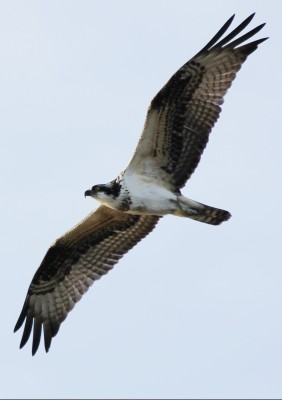 Osprey, Cape May