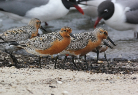 Red Knots, Reed's Beach
