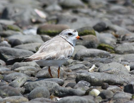 Piping Plover, Milford Point
