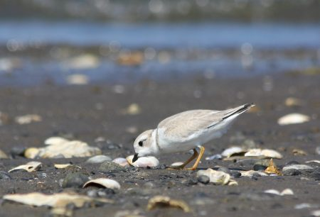 Juv. Piping Plover, Milford Point