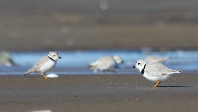 Piping Plovers, Parker River NWR