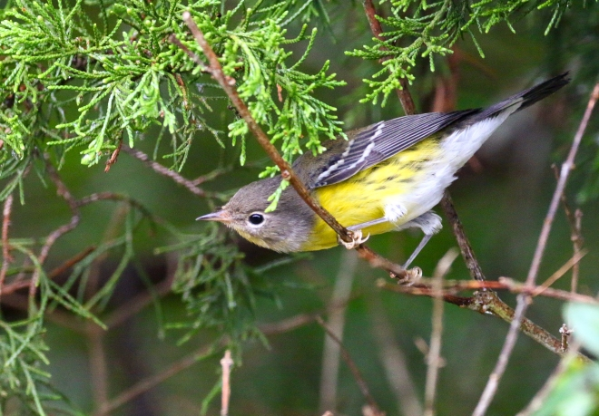 Magnolia Warbler, Cape May