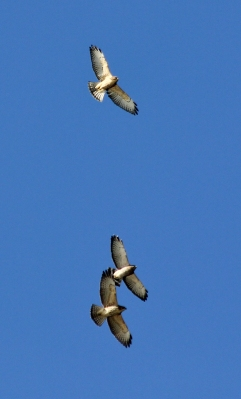Broad-winged Hawks