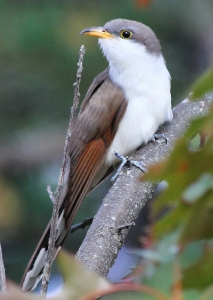 Yellow-billed Cuckoo, Parker River NWR