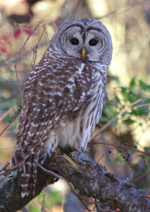 Barred Owl, Parker River NWR