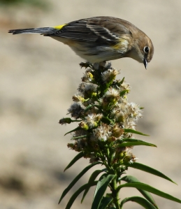 Yellow-rumped Warbler, Sandy Hook Gateway National Recreation Area