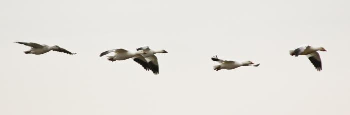 Snow Geese, Edwin B. Forsythe NWR